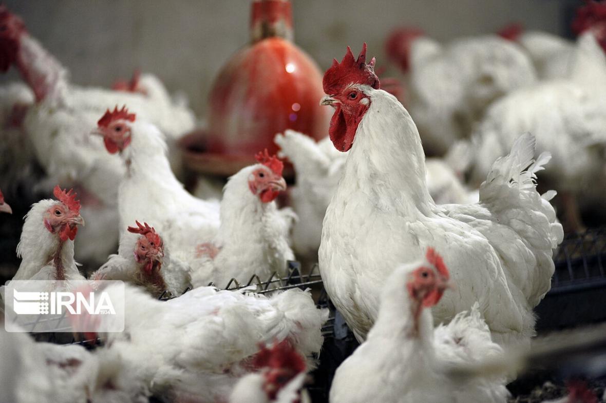 مرغ بازهم گران شد