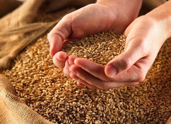 کاهش 40 درصدی تولید گندم در لرستان