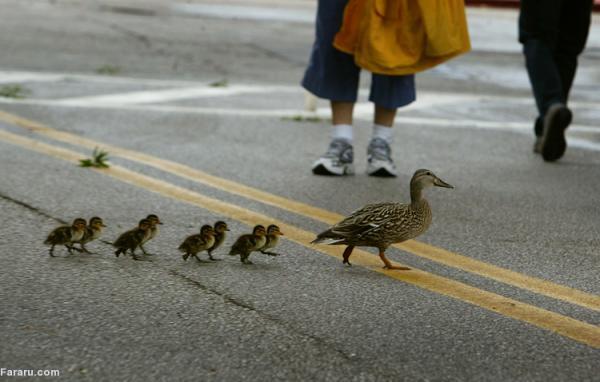(ویدئو) اردک مادر بچه ها را به خرید می برد!